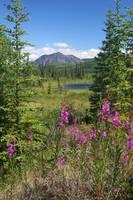 Fireweed, pond, and mountains near Cantwell, Alask
