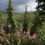 """Fireweed & Rain in Denali Park, Alaska"" by jansmith"
