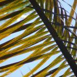 """Palm Leaves"" by rjhphotos"