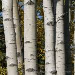 """Aspens with fall colors"" by PicsbyJanet"