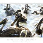 """Brown Pelicans - Key Largo, FL"" by CCordelia"