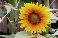 Backyard Sunflower