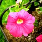 """Pink Petunia"" by Kirby"