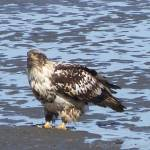 """Young eagle"" by PicsbyJanet"