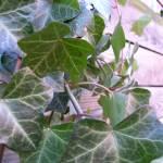 """Ivy"" by PicsbyJanet"