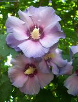 Purple Rose Of Sharon