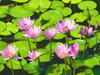 Water lilies _pink and green