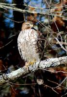 Bird of Prey, Hawk