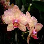 """Pink Orchids"" by TrinasPics"