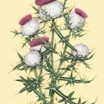 """Cirsium eriophorum"" by kirke"