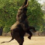 """Elephant standing"" by MichaelPoliza"