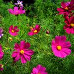 """Pink Cosmos"