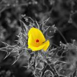 """Mexican Prickly Poppy"" by collectionofimages"
