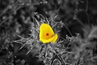 Mexican Prickly Poppy