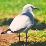 """Seagull"" by CharlesWilliamGedius"