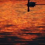 """""""The swan sunset"""" by fiurix"""