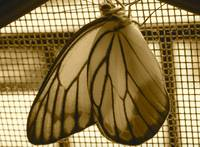 black and white photo of Painted Jezebel Butterfly