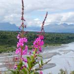 """Fireweed With a View"" by jansmith"