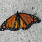 """Concrete Butterfly"" by LoraineEnglish"