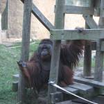 """Orangutan Posing for all the visitors"" by imelda"