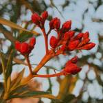 """Red Oleander Buds"" by collectionofimages"