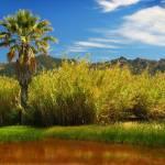 """Palm Tree, Calistoga, California"" by richdelmastro"