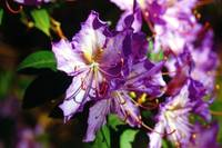 Purple Azalea in Springtime
