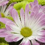 """Pink Daisies"" by elitephotoart"