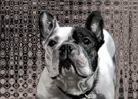 french bulldog metalic