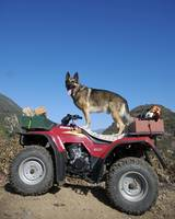 German Shepherd ATV