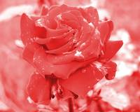 Red-Green_Rose_c2