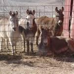 """""""Donkey Gang"""" by Susyr22"""