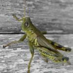 """""""Grasshopper"""" by Susyr22"""