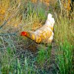 """White hen at sunset"" by eyecontact"