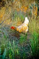 White hen at sunset