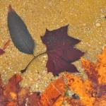 """Fall Leaves in the shallows"" by snarkphoto"