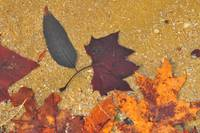 Fall Leaves in the shallows