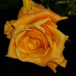 """*ORANGE ROSE*"" by NELLY"