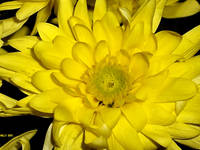 *Chrysanthemum*