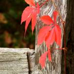"""Red Leaves & Fence Post"" by jansmith"