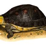 """Chinese Box Turtle"" by inkart"