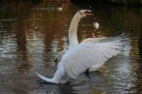 The Swan Conductor