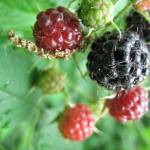 """Wild Blackberries"" by photosbyCaroline"