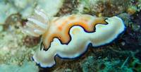 Orange and White Nudibranch