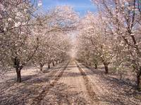In the Almond Orchards