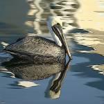 """""""Pelican Adrift"""" by WilsonGraphics"""