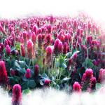 """Crimson Clover"" by OutsideShooter"