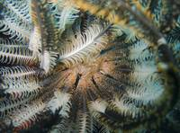 Heart of Feather Star