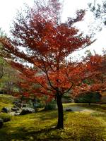 Red tree, Kyoto