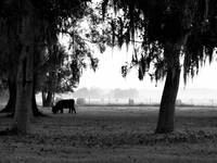 Graze in morning fog